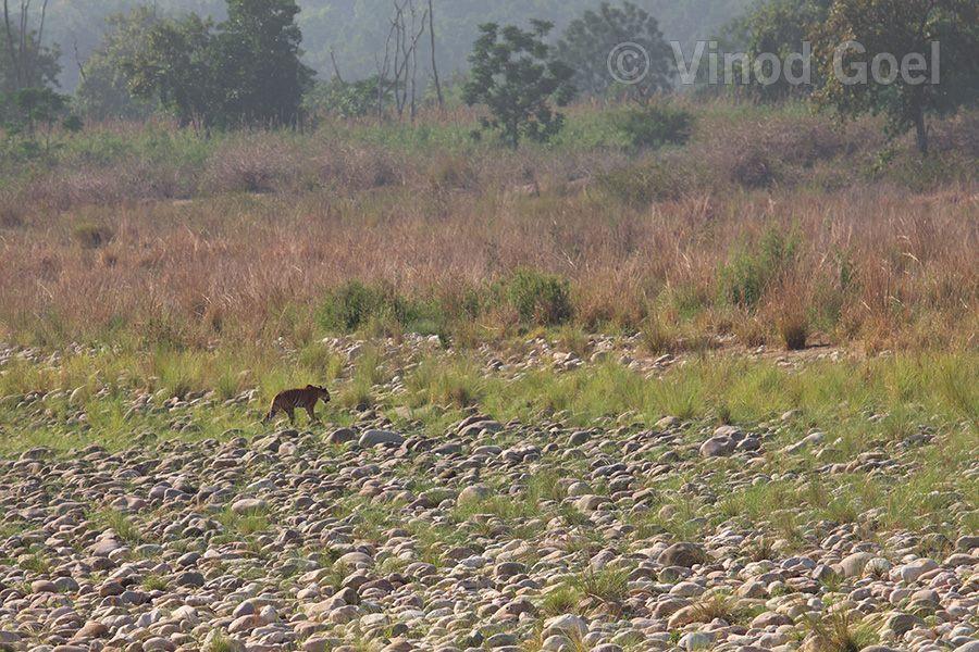 Tigress at Corbett Tiger Reserve