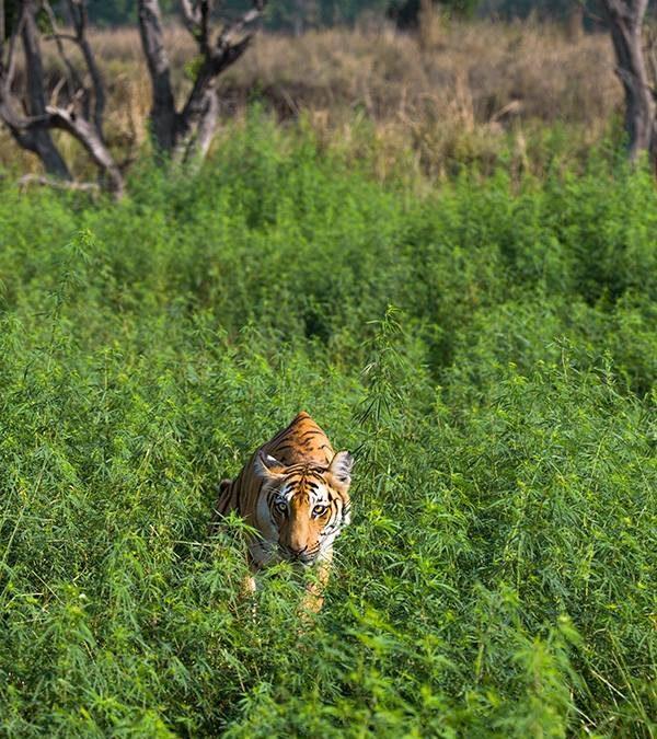 Tigress in the greens at Corbett Tiger Reserve