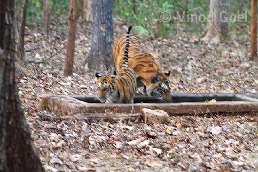 Tigress with a cub at Nagzira