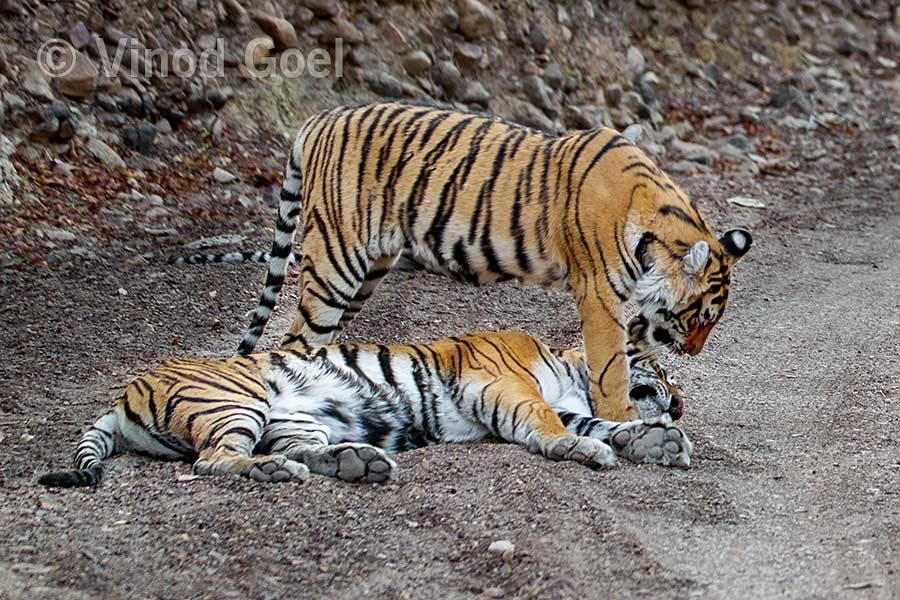 Tigress with cub at Ranthambore Tiger Reserve