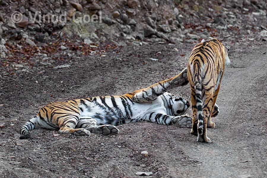 Tigress with cub at Ranthambore Tiger Reserve1