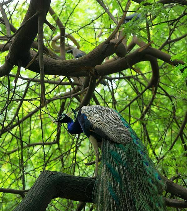 peacock and the snake at Delhi
