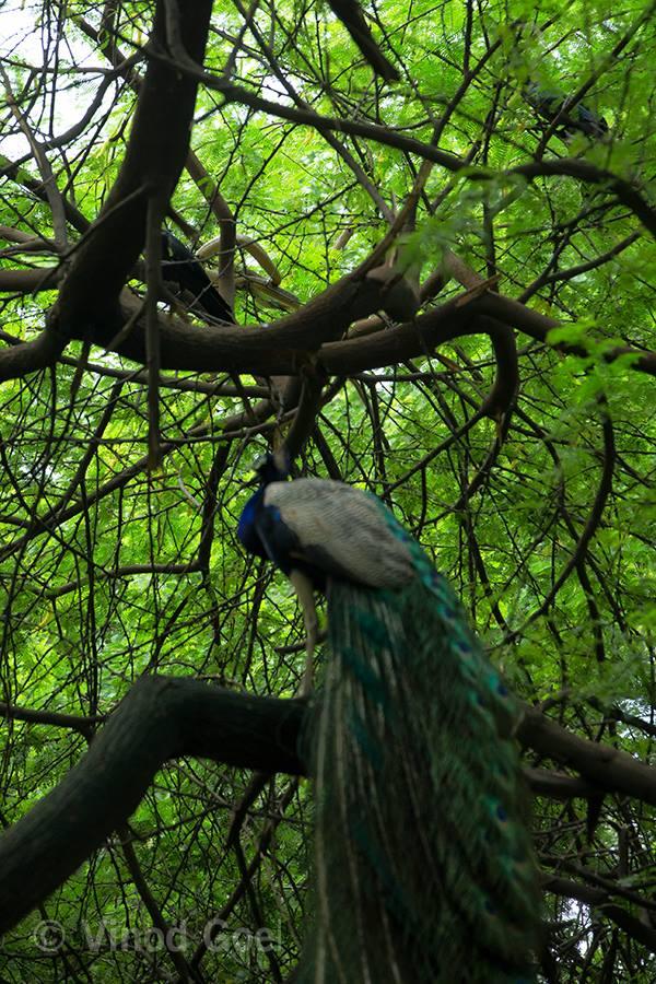 peacock with snake at Delhi