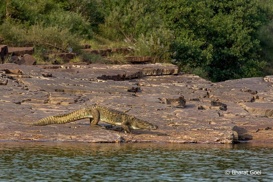 Crocodile on the banks of Ken River at At Panna tiger Reserve