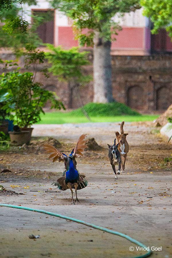 Dog Chasing Peacock at Delhi