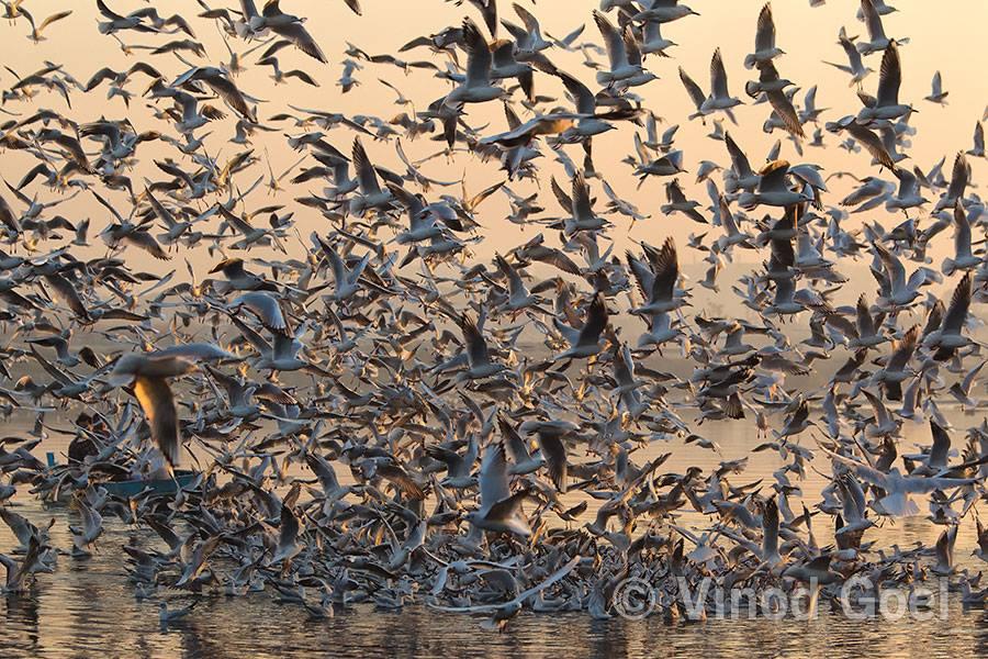 Gulls Flock at Delhi