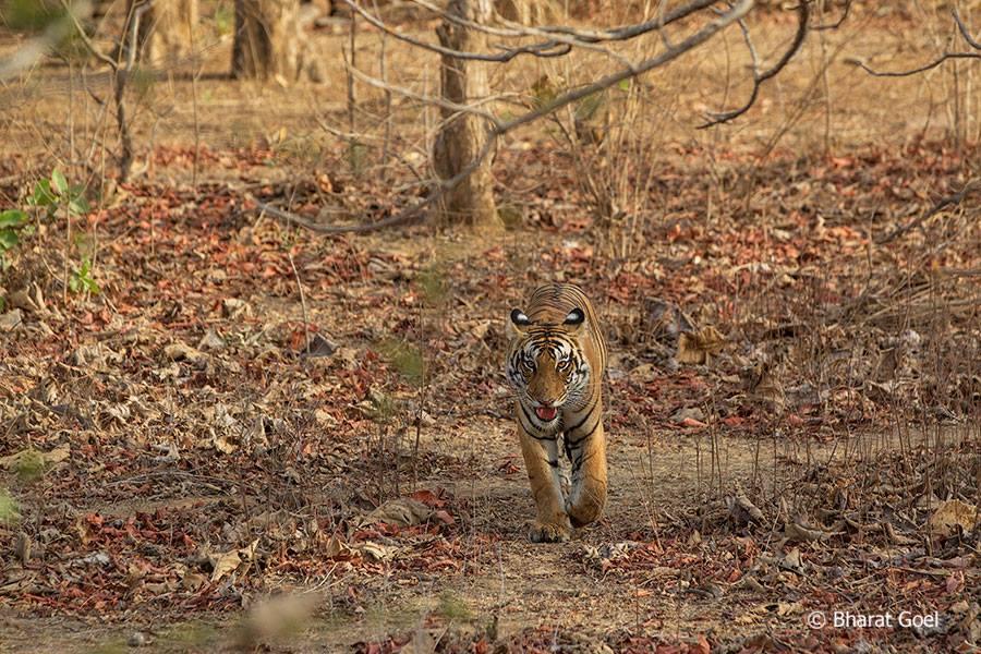 Tiger at the Panna Tiger Reserve