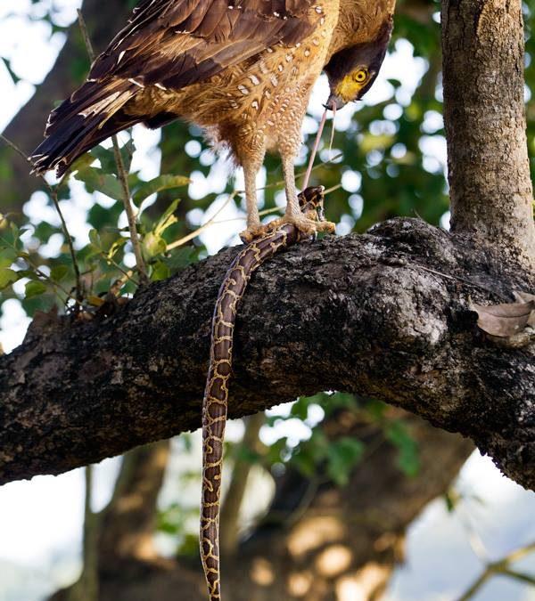 Crested Serpent Eagle feeding on Burmese Python at Dudhwa Tiger Reserve