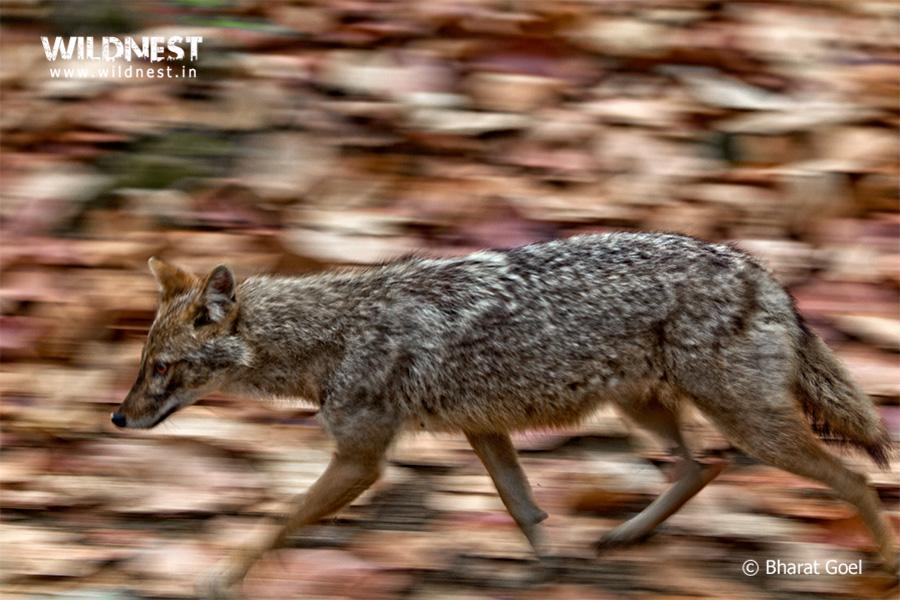 jackal-running-habitat