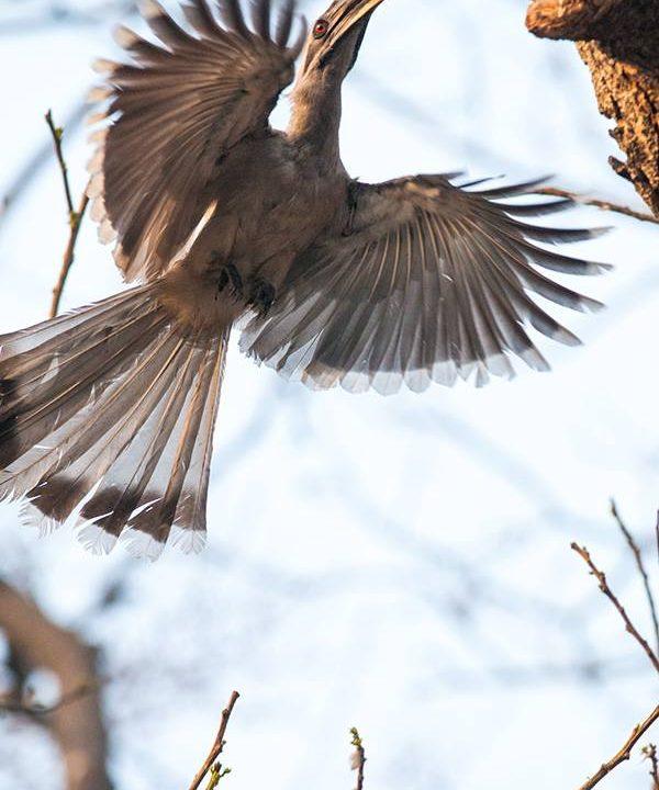 Grey Hornbill in flight at Delhi