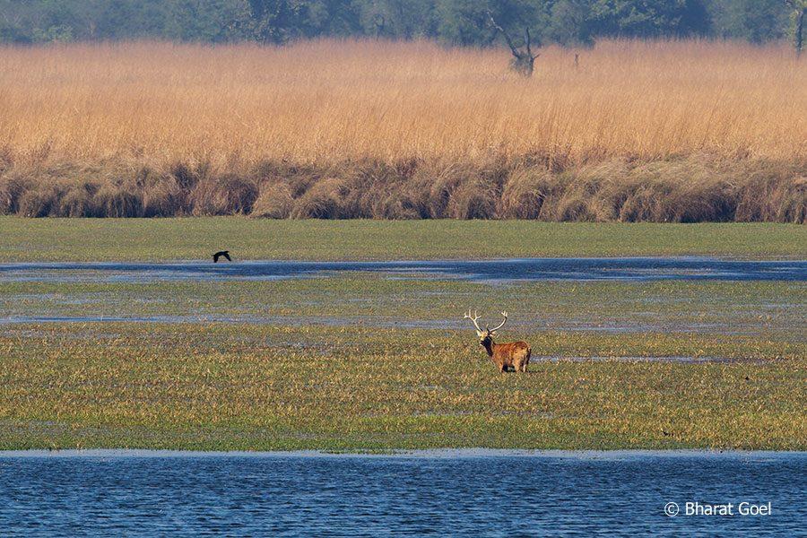 Swamp Deer at Dudhwa Tiger Reserve