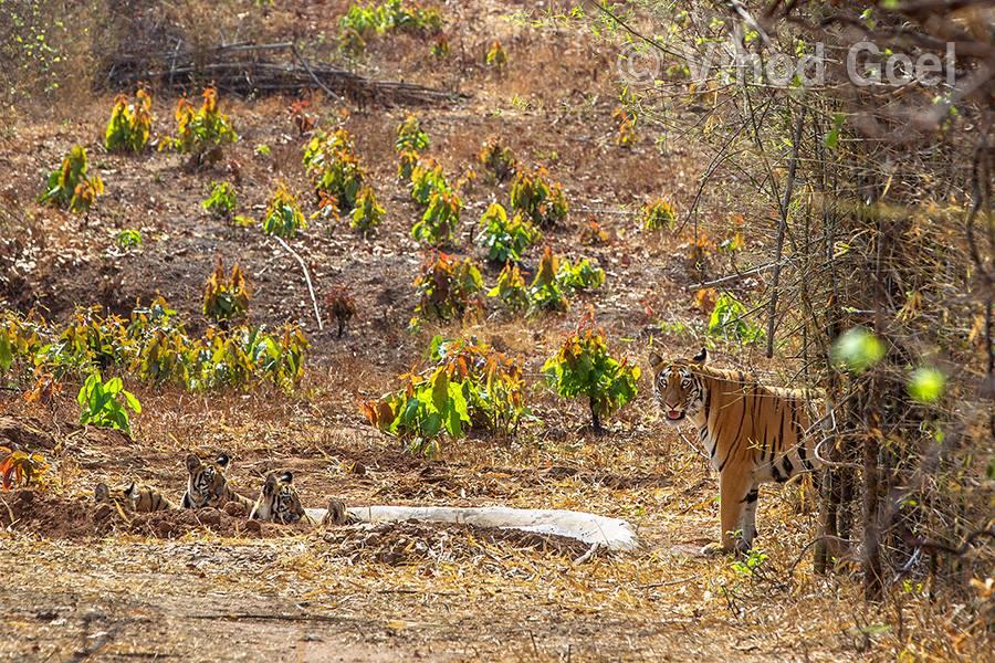 Tigress with cubs at Tadoba Andhari Tiger Reserve