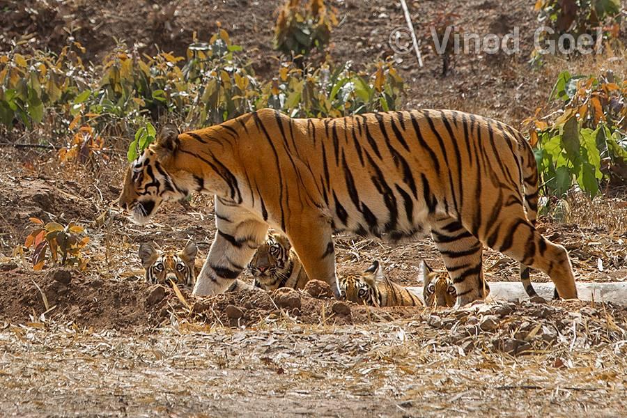 Tigeress with cubs at Tadoba Andhari Tiger Reserve