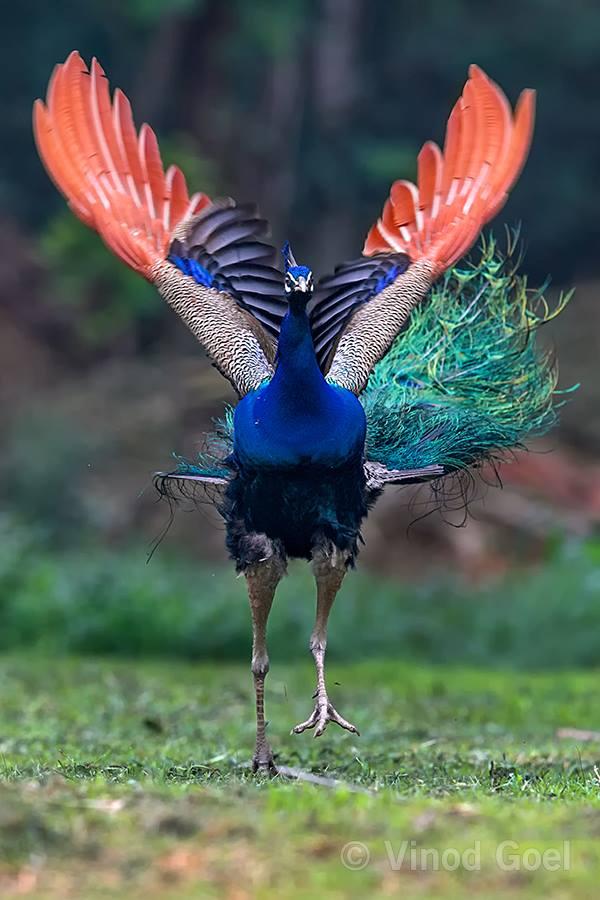 peacock at delhi