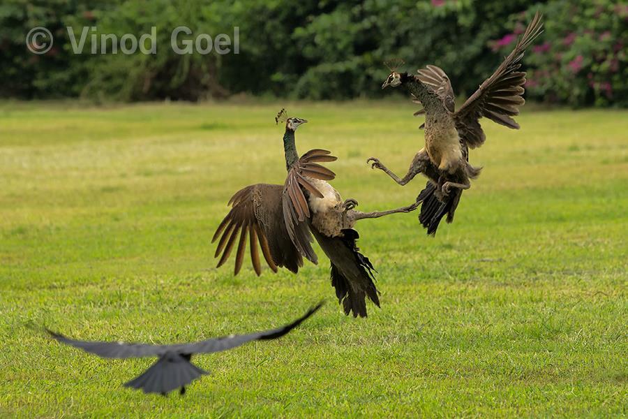 peahen fight at delhi