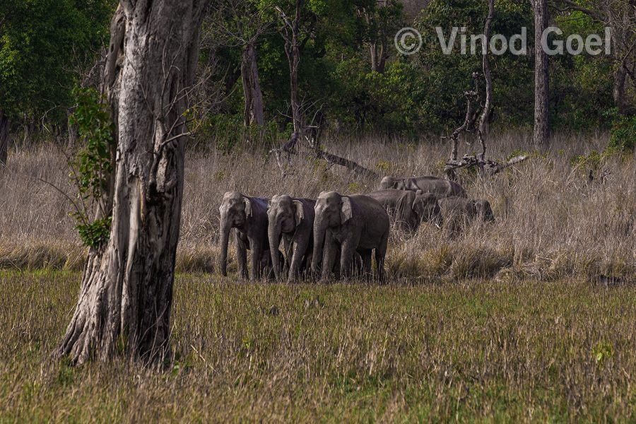elephants at rajaji tiger reserve