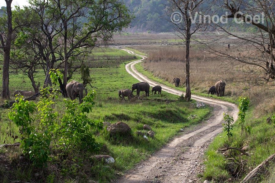 elephant herd at rajaji tiger reserve
