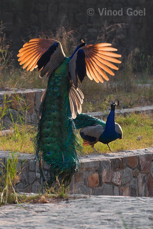 peacock fight at delhi