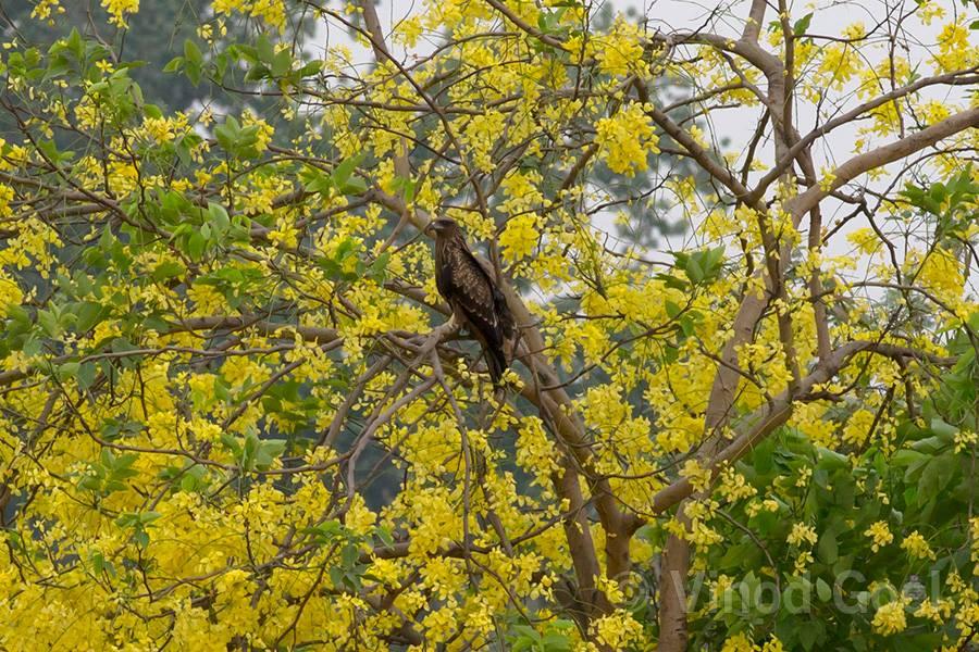 Black Kite at ludhiana