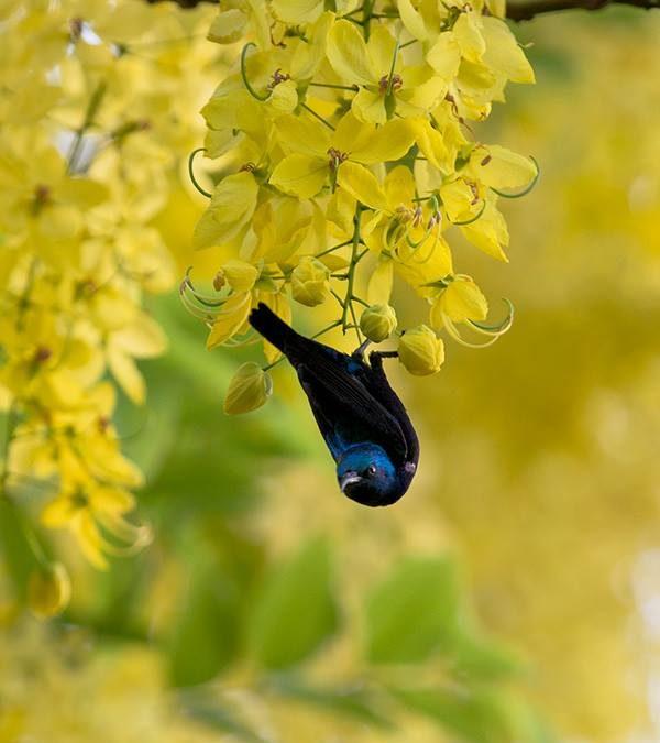 Purple Sunbird at ludhiana