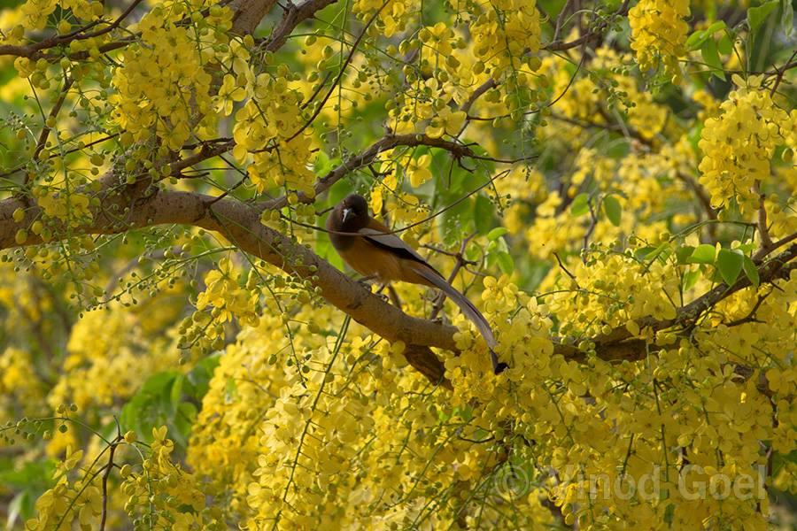 Rufous Treepie at ludhiana
