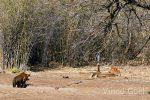 tiger with deer at tadoba andhari tiger reserve