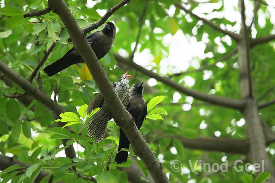 House Crow Feeding Asian Koel chick