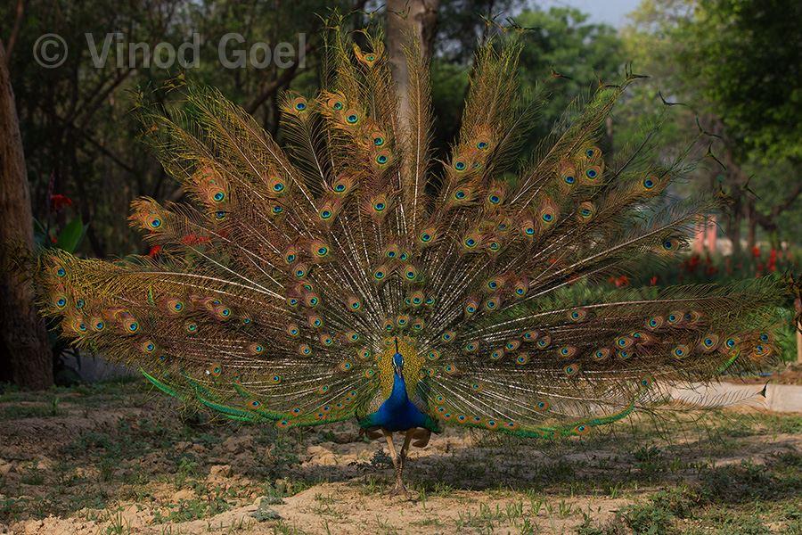 Cosmic dance of Peacock at Delhi