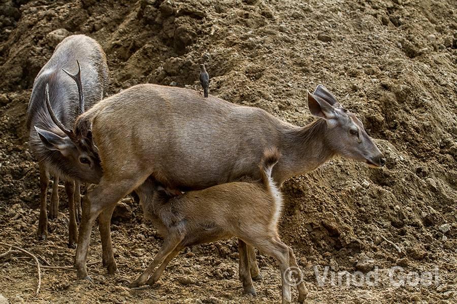 Female Sambar feeding male & calf